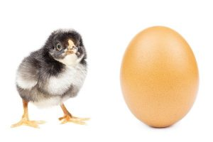 Baby chick and egg.