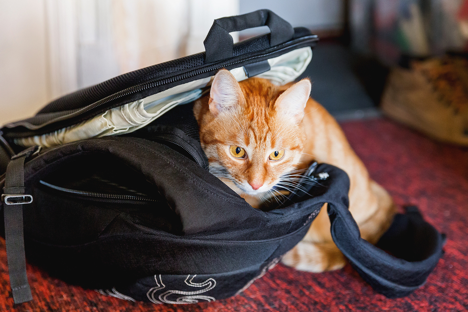 Orange cat in black bag.