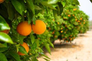 Row of orange trees.