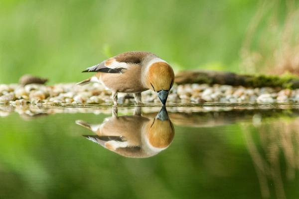 Bird drinking in a lake.